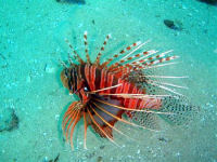 Pterois mombasae