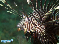 Rotfeuerfisch Pterois miles