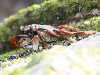 Grapsus sp.
