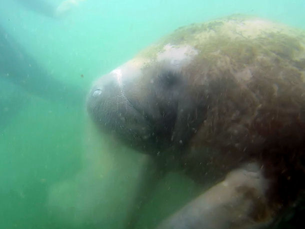 Diving with Manatees