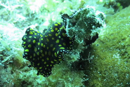 Flatworm Grand Cayman